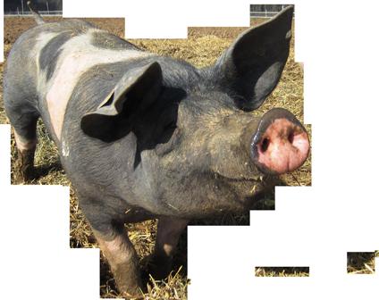Riehle's Schweine-fleisch